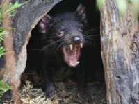 Genóm diablov tasmánskych sa mení ako odpoveď na rakovinu