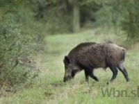 Na Šumave pobehujú rádioaktívne diviaky, môžu za to huby