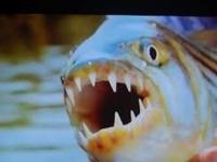 Video: Nafilmovali dravú rybu, ako chytila letiaceho vtáka
