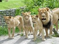 Levom v západnej Afrike hrozí vyhynutie